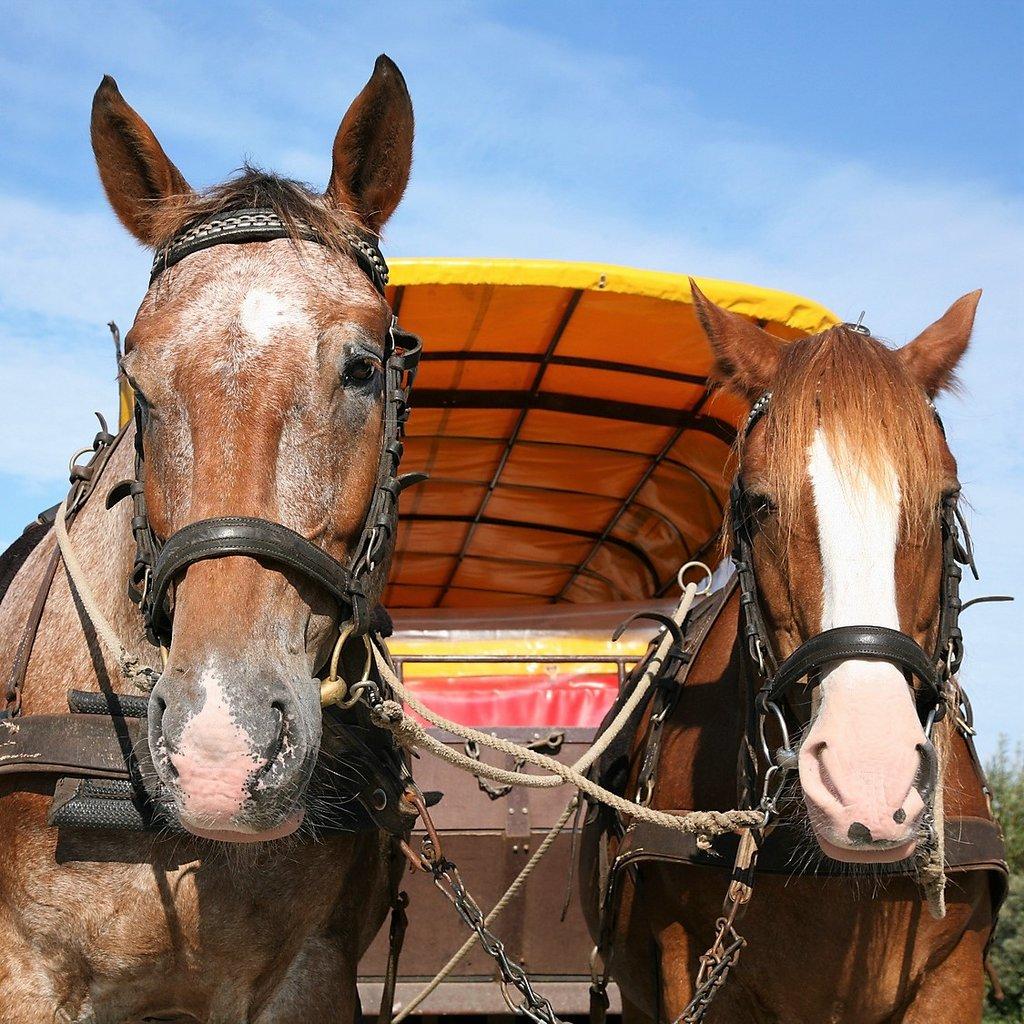 Pferde vor Planwagen