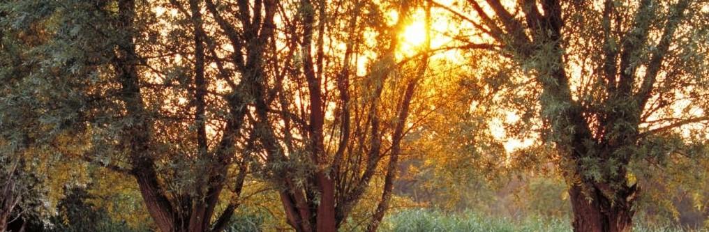 Weiden im Sonnenuntergang
